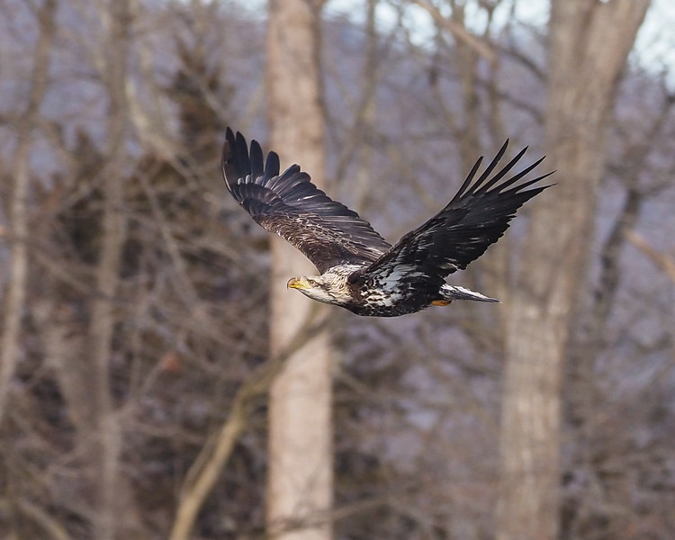 Bald Eagle (3CY)
