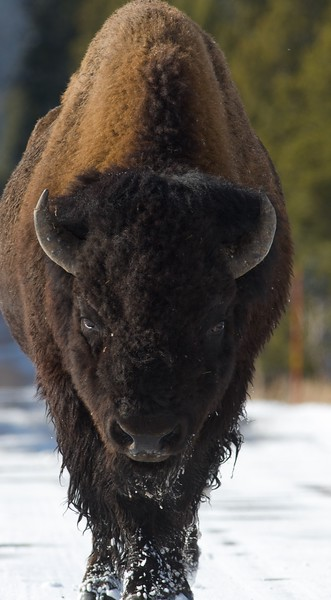 Bison often walk right down the middle of the park roads [October; Yellowstone National Park, Wyoming]