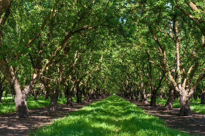 An almond tree grove