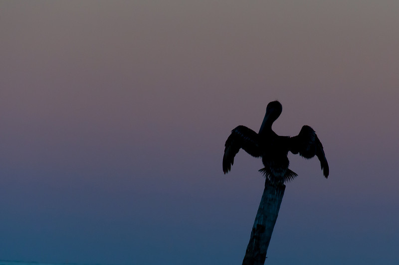 Bird during sunset in Caye Caulker, Belize