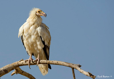 Lammergeier Egyptian Vulture & Lappet  -Faced Vulture-רחמים,עוזניות פרסים