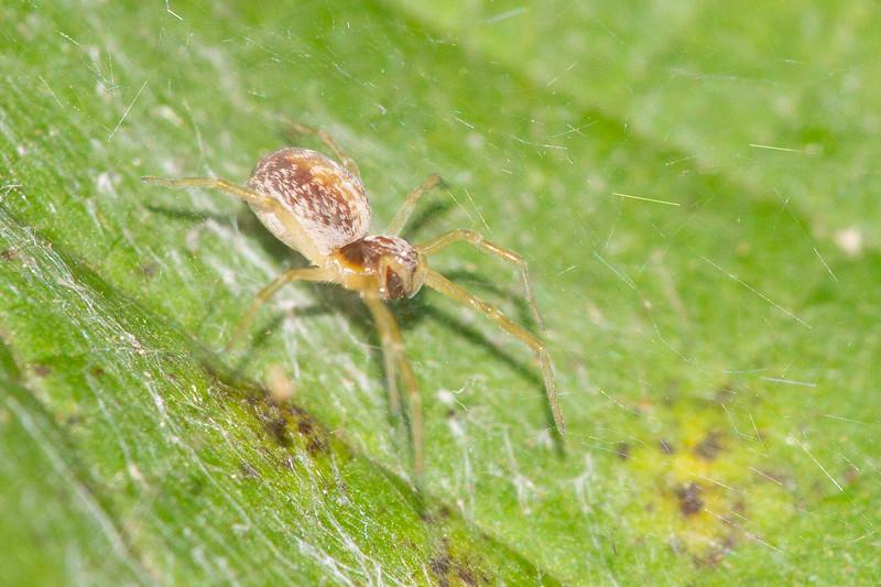 Dictynid spider Skogstjarna Carlton County MN IMG_0632.jpg