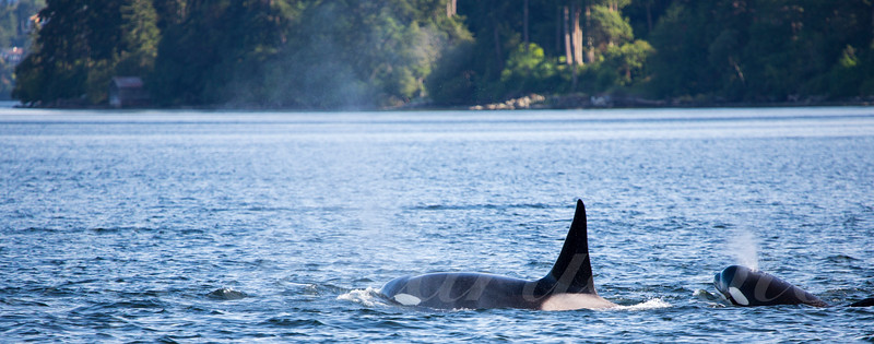 Orcas's