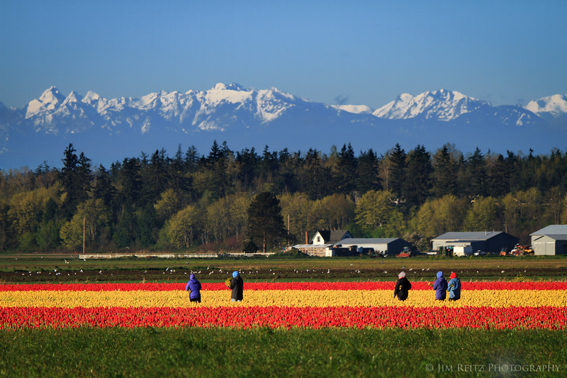 Tulip Pickers