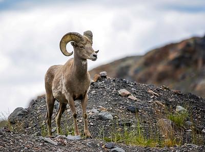 Canadian Rockies Animals 2015