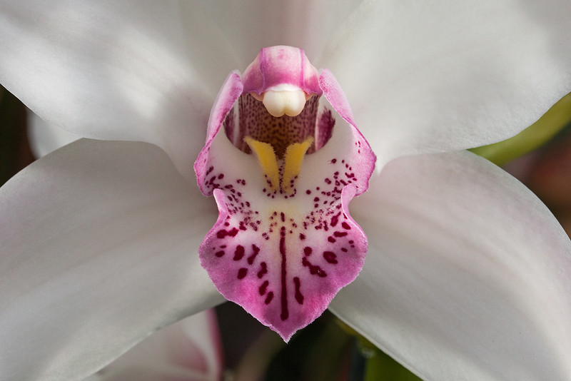 white and pink cymbidium orchid