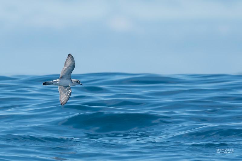 Antarctic Prion, Eaglehawk Neck Pelagic, TAS, Dec 2019-1.jpg