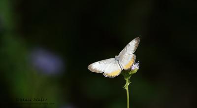 Common Mestra Butterflies