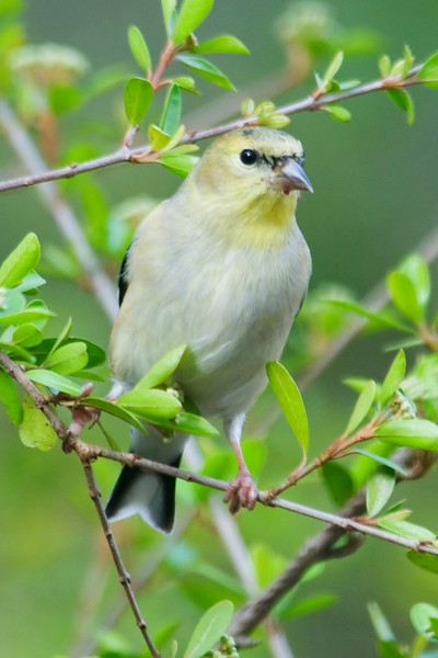 Goldlfinch - American - Tall Timbers - Tallahassee, FL
