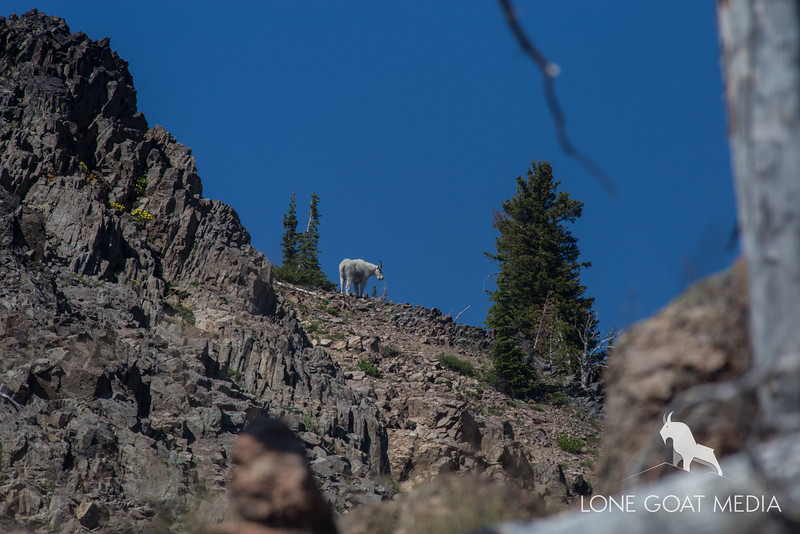 Goat Sighting #1