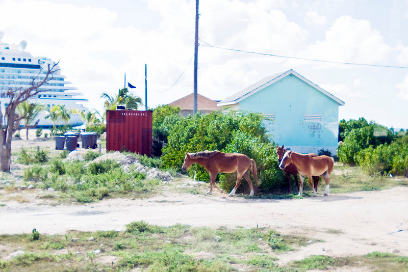 These horses, allowed to roam free, are from the original descendants of the horses and donkeys brought to Grand Turk.