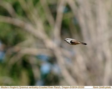 WesternKingbird26599.jpg