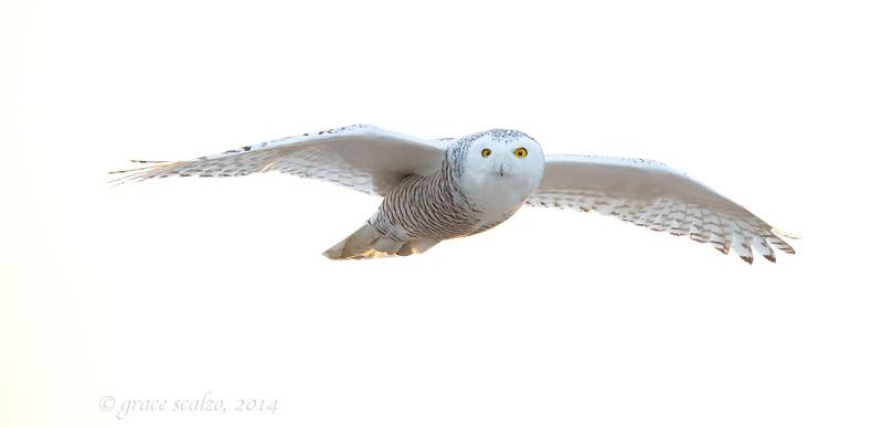 Snowy Owl Flight close up_O8U7216.jpg