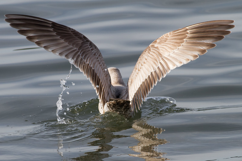 Mew Gull - Juvenile - Note the really long wings