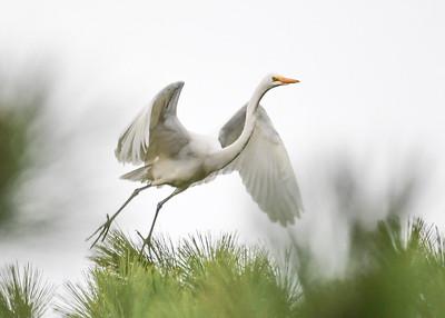 Great Egrets In-flight (10 Photos) - October 2017