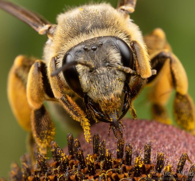 Andrena senticulosa