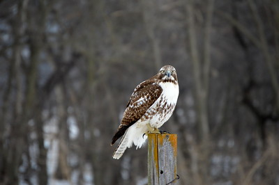 Red Tailed Hawk - IL and NE