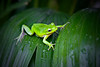 Little green tree frog resting on a leaf filled with water drops. Photography fine art photo prints print photos photograph photographs image images artwork.