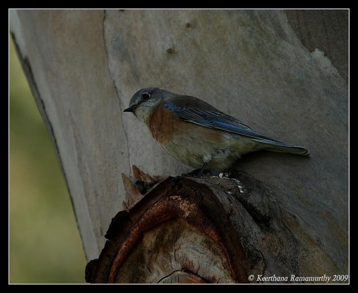 Western Bluebird Female, San Dieguito County Park, San Diego County, California, January 2009
