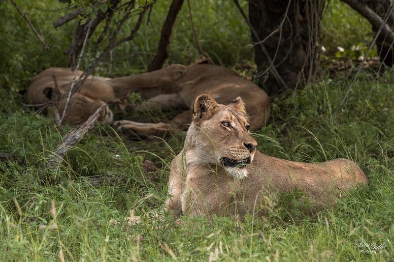 Lion_0653.jpg
