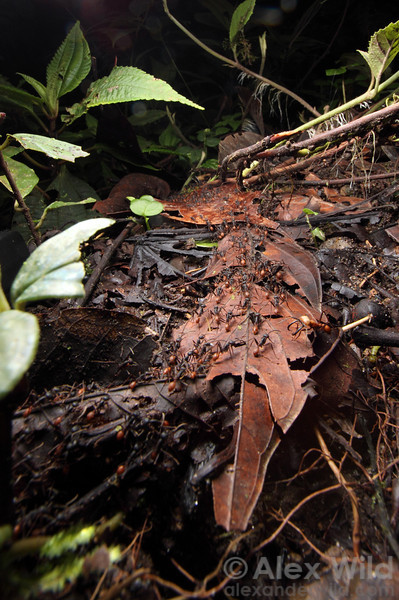 A raiding party of Eciton burchellii army ants streams home towards the bivuoac while a soldier stands guard.