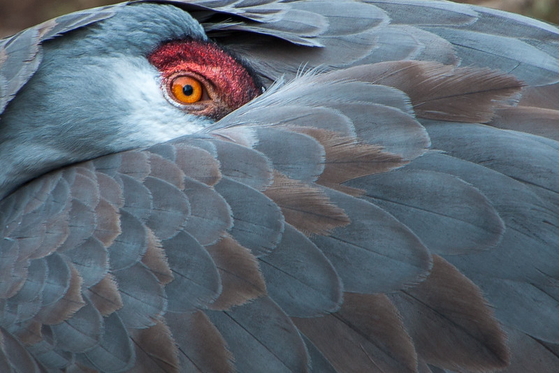 """""""The Eye of the Crane"""" Sandhill Crane  at Elmwood Zoo Park in Norristown, PA."""