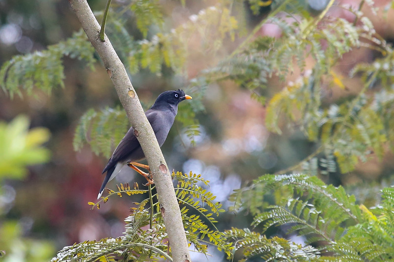 Jungle Myna (Acridotheres fuscus)