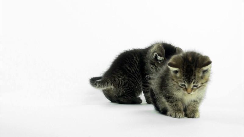 Kittens_tabby_026.mov