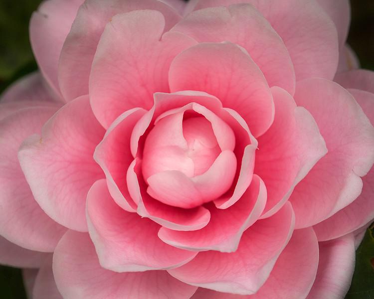 pink-camellia.jpg