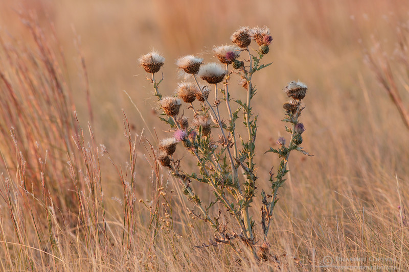 Flodman's thistle, Grasslands National Park, Saskatchewan