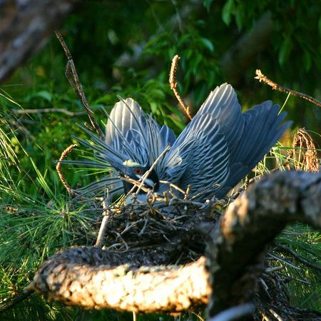 Yellow-crowned night-heron (Nyctanassa violacea  (Linnaeus, 1758) breeding in Boca Raton FL April 2005