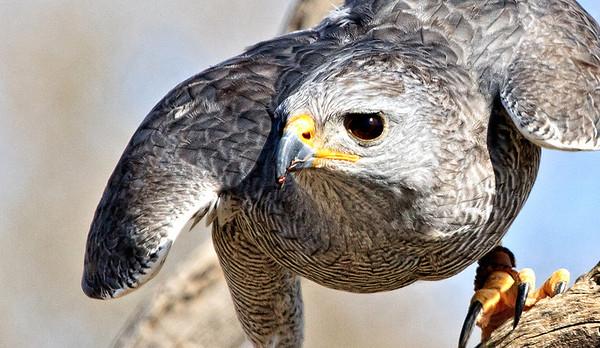U.S.  Birds