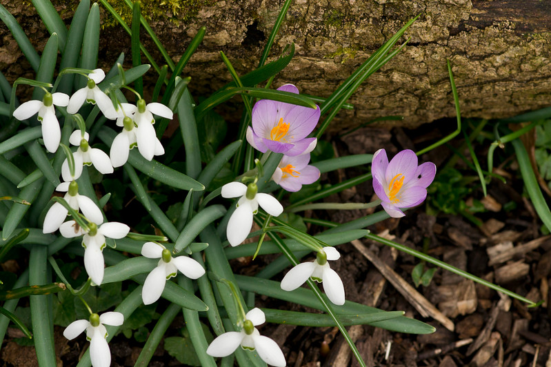 Snowdrops and Crocus Flowers