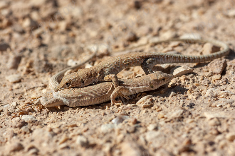 Small-spotted lizard /מדברית עינונית / (Mesalina guttulata)