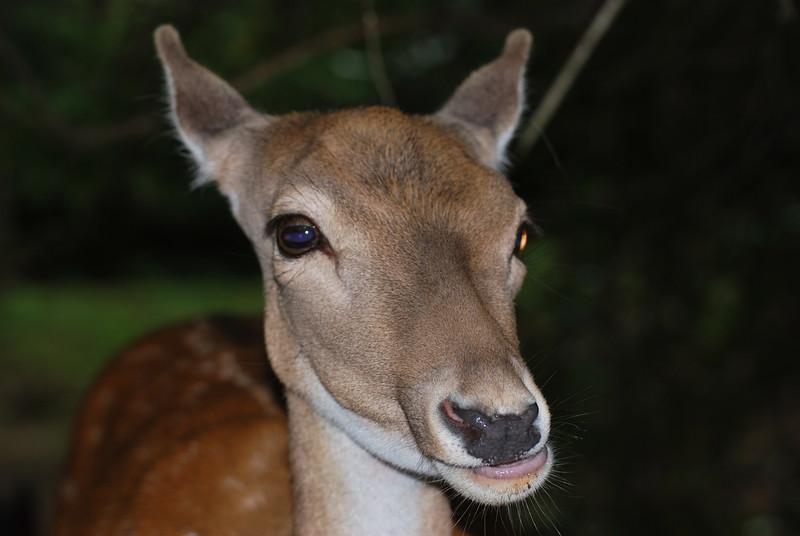 Fallow deer 3.JPG
