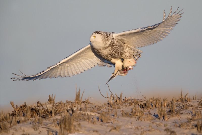 Snowy owl with prey_O8U9728-Edit.jpg