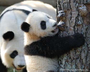 Georgia Zoo: Pandas: Mei Lan: 4-23-2007
