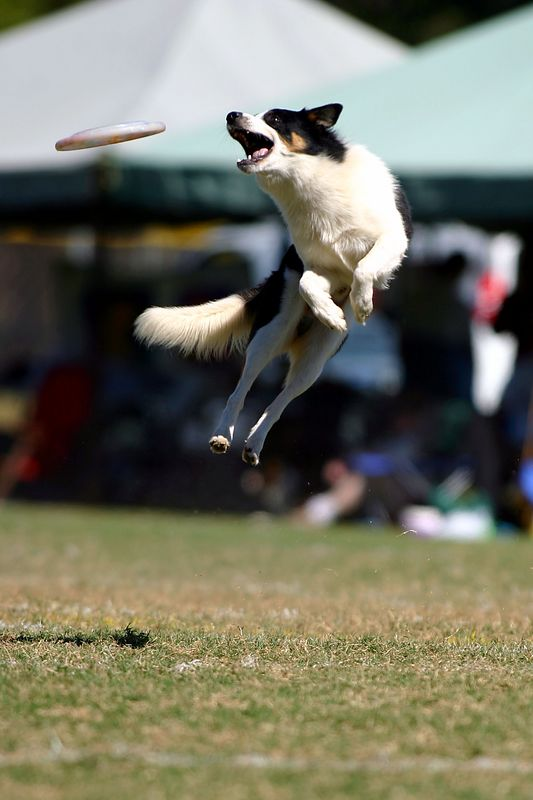 Georgia State Frisbee Dog Championships