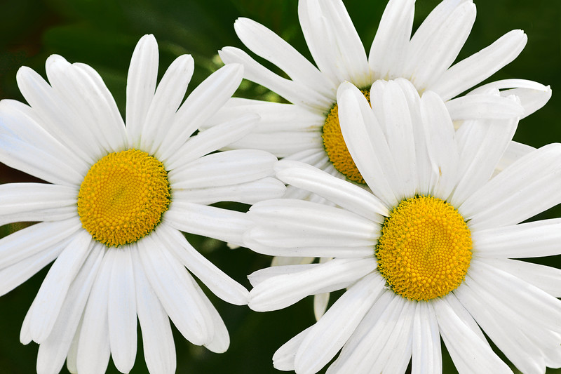 Autumn Daisy Trio