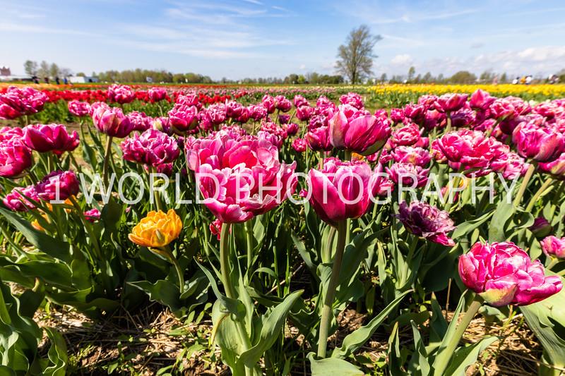 Holland, MI, Tulips -86-68.jpg