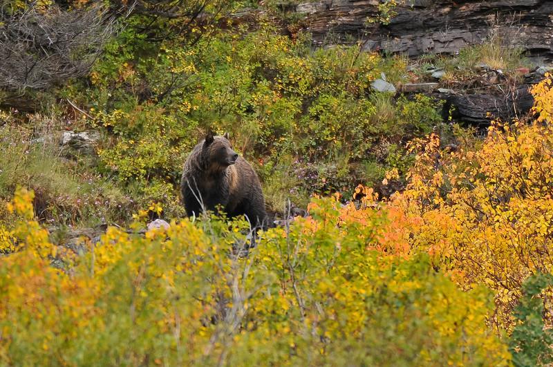 Grizzly bear, Glacier National Park.