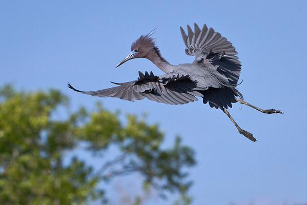 Migratory Wading Birds 2012