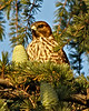 Red-shouldered Hawk in San Diego County, CA