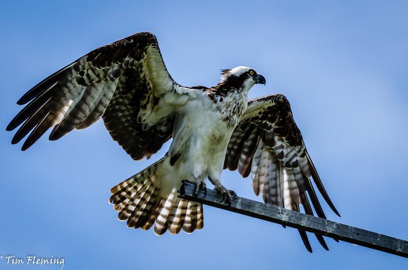 Osprey wingspread 071616-53.jpg