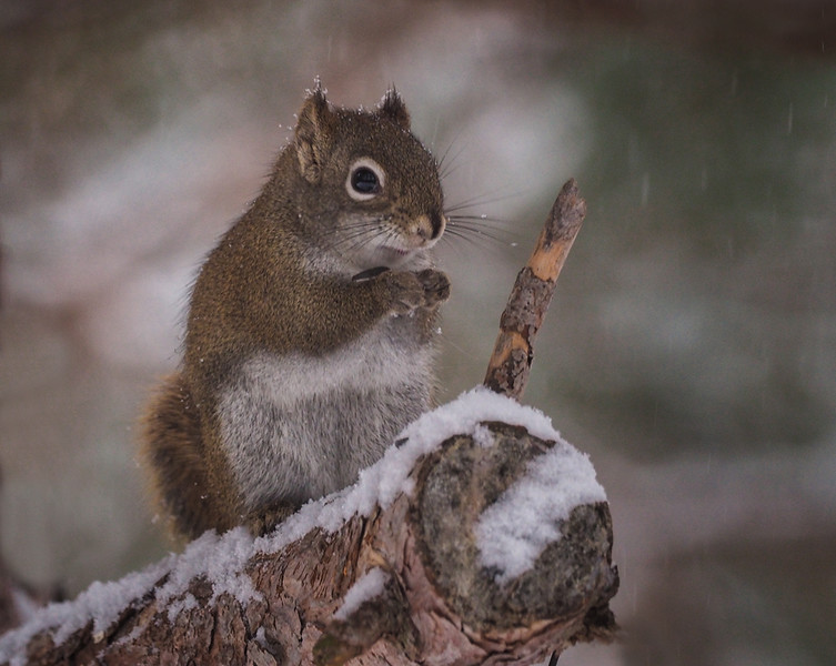 Squirrel in the snow Dec 2016.jpg