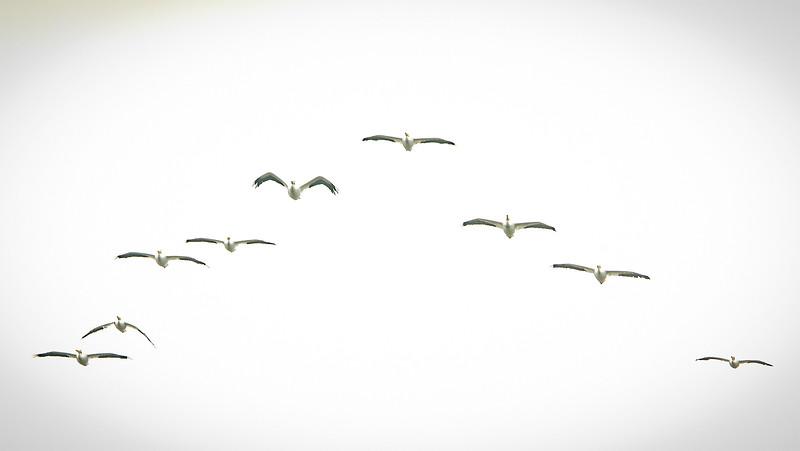 Pelicans_03.jpg