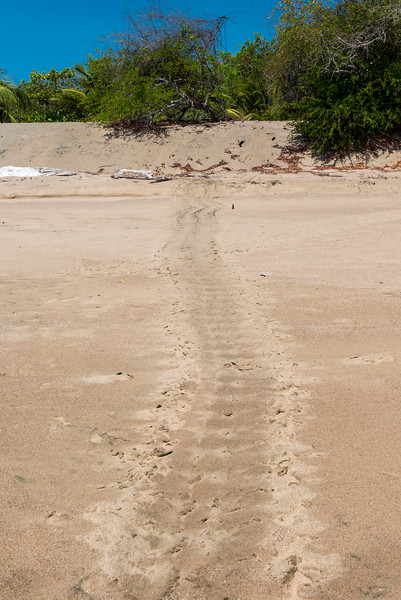 Turtle tracks - egg laying night before