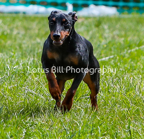 Toy Manchester Terrier  DH
