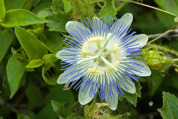 Passionflower-Arizona - California Gulch - AZ