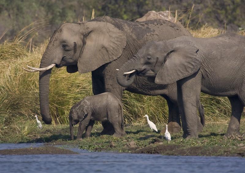 Elephant Family at ZambeziZIMBABWEElephant Family at Zambezi.jpg